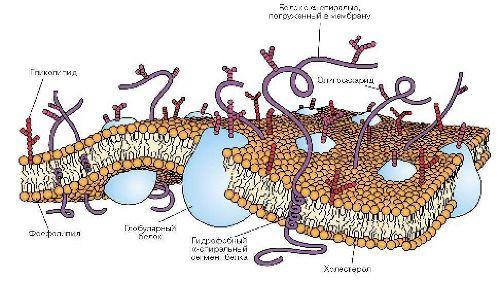 Базальная мембрана и белки