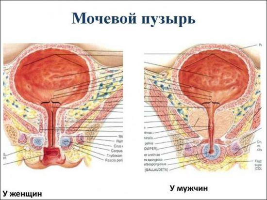 Мочевой пузырь у женщин и мужчин