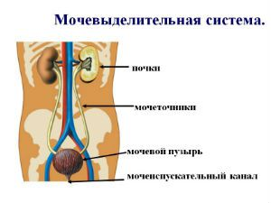 Мочевыделительная система