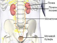 мочеточник и другие органы мочевыделительной системы